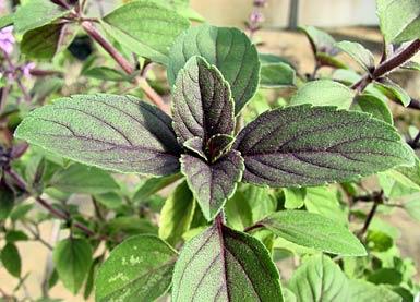 basilikum basil ocimum basilicum essbare pflanzen. Black Bedroom Furniture Sets. Home Design Ideas