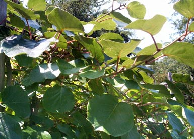 kiwi kiwi fruit actinidia deliciosa auf bei den essbaren pflanzen. Black Bedroom Furniture Sets. Home Design Ideas