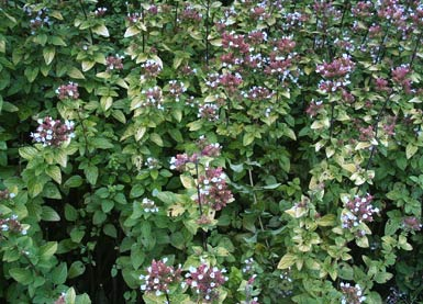 oregano wild marjoram origanum vulgare auf. Black Bedroom Furniture Sets. Home Design Ideas