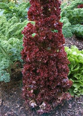 http://www.pflanzenliebe.de/innen/floragalerie_mittel/essbares_mittel/salat_lollorosso_0806/lollorosso.jpg