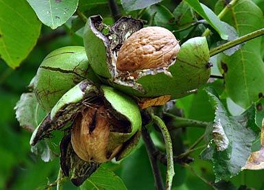 walnuss walnut tree juglans regia auf bei den essbaren pflanzen. Black Bedroom Furniture Sets. Home Design Ideas