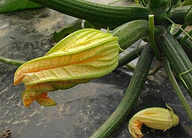 zucchini courgette green squash cucurbita pepo essbare pflanzen auf. Black Bedroom Furniture Sets. Home Design Ideas