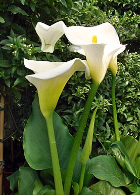 calla calla lily zantedeschia aethiopica garten auf. Black Bedroom Furniture Sets. Home Design Ideas