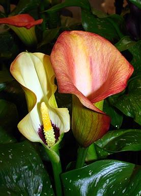 calla garten cool nicht hybrid bunte calla lily seeds blume voller blte whrend der saison. Black Bedroom Furniture Sets. Home Design Ideas