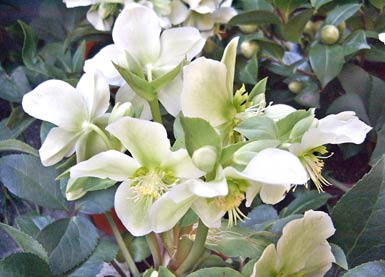 christrose lenzrose christmas rose helleborus niger auf im garten. Black Bedroom Furniture Sets. Home Design Ideas
