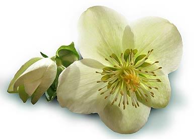 Christrose - Lenzrose - christmas rose - Helleborus niger auf pflanzenliebe.de im Garten