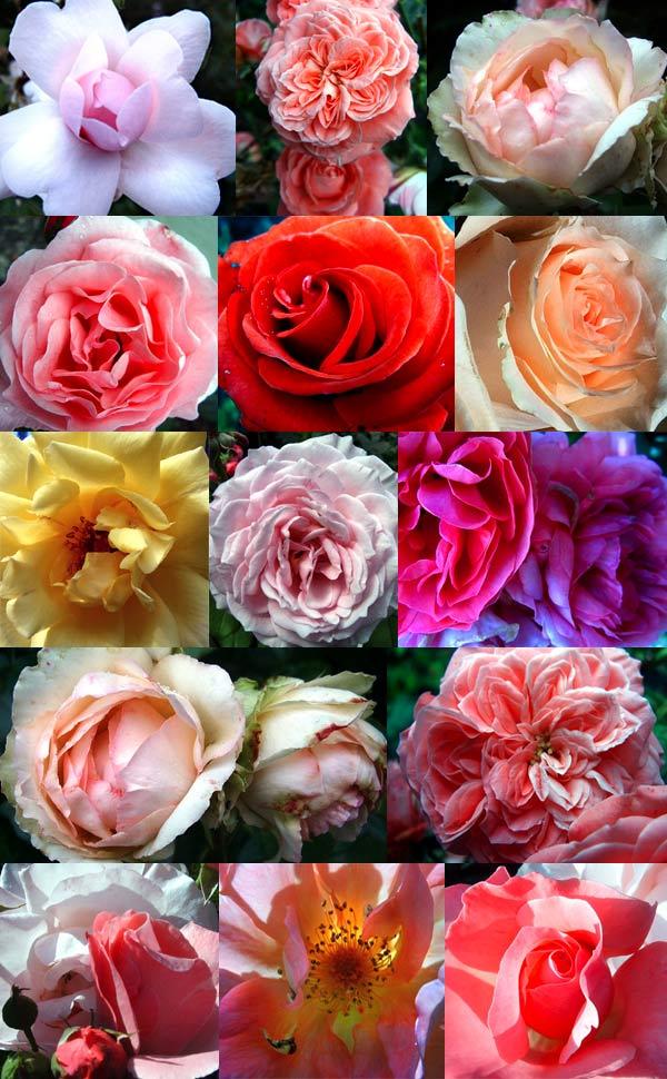 edel rose rose rosa willkommen auf. Black Bedroom Furniture Sets. Home Design Ideas