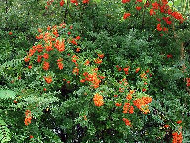 Feuerdorn - scarlet firethorn - Pyracantha coccinea - Willkommen auf pflanzenliebe.de im Garten!