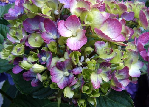 hortensie bigleaf or mophead hydrangea hydrangea macrophylla garten auf. Black Bedroom Furniture Sets. Home Design Ideas