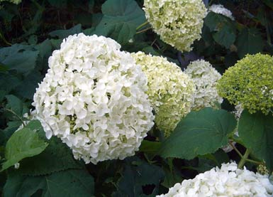 hortensie smooth or wild hydrangea hydrangea arborescens garten auf. Black Bedroom Furniture Sets. Home Design Ideas