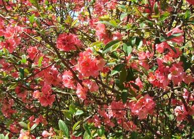 Japanische Zierquitte - Japanese flowering quince ...