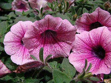 Petunie - petunia bei pflanzenliebe.de im Garten