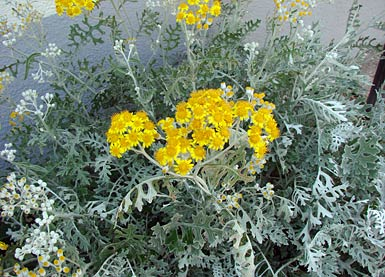 Silberblatt - silver ragwort - silverdust - Senecio cineraria bei pflanzenliebe.de im Garten