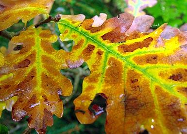 Deutsche Eiche English Oak Quercus Robur Auf Pflanzenliebe De Im
