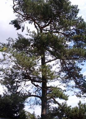 kiefer scotch pine pinus sylvestris auf pflanzenliebe. Black Bedroom Furniture Sets. Home Design Ideas