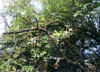 schwarzer holunder elderberry sambucus nigra bei auf der wiese. Black Bedroom Furniture Sets. Home Design Ideas