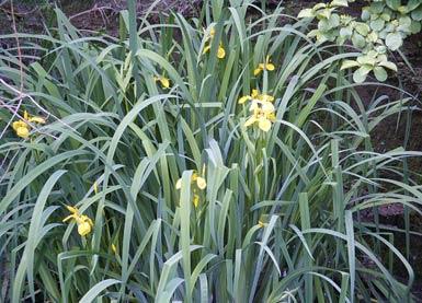 sumpfschwertlilie yellow flag iris pseudacorus bei auf der wiese. Black Bedroom Furniture Sets. Home Design Ideas
