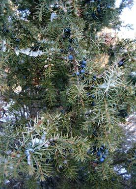 wacholder common juniper juniperus communis bei auf der wiese. Black Bedroom Furniture Sets. Home Design Ideas