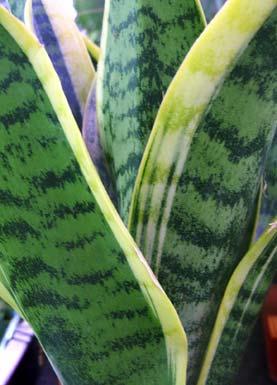 bogenhanf variegated snake plant sansevieria. Black Bedroom Furniture Sets. Home Design Ideas