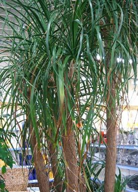 elefantenfu ponytail palm bottle palm willkommen auf bei den zimmerpflanzen. Black Bedroom Furniture Sets. Home Design Ideas
