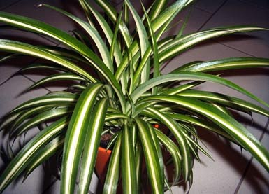 gr nlilie variegated spider plant willkommen auf bei den zimmerpflanzen. Black Bedroom Furniture Sets. Home Design Ideas