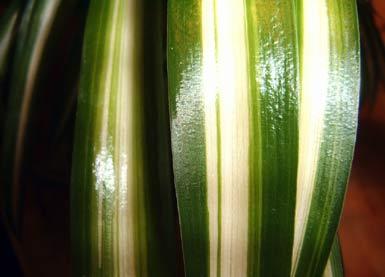 gr nlilie variegated spider plant willkommen auf bei den zimmerpflanzen. Black Bedroom Furniture Sets. Home Design Ideas