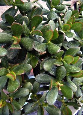 Pfennigbaum jade plant willkommen auf - Zimmerpflanzen liste ...