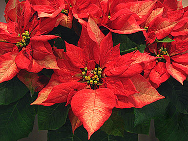 weihnachtsstern poinsettia euphorbia pulcherrima auf bei den zimmerpflanzen. Black Bedroom Furniture Sets. Home Design Ideas