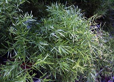 Ben tige hilfe bei pflanzenbestimmung garten pflanzen - Bambus zimmerpflanze pflege ...